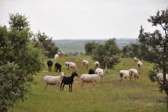 HDL-Schafsherde